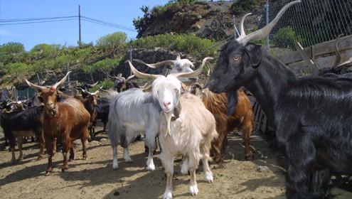 Explotaciones ganaderas de La Palma – Zona Sur