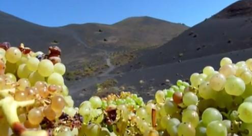 La Palma pierde 100 hectáreas de cultivo de la vid en los últimos años
