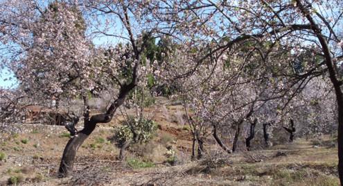 Almendros en zona norte de La Palma