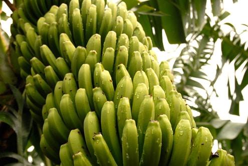 ASPA apoya la retirada de plátano para garantizar unos precios dignos al agricultor