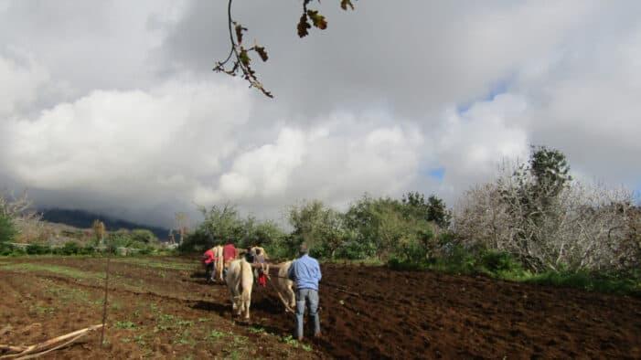 Jornadas de cereales y siembra tradicional con arado en La Palma